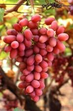 Crimson, uden kerner, druer, vin