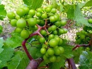fruta, uva, verde