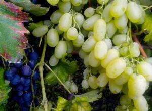 granos, blanco, uvas