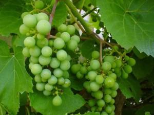 Grapevine, màu xanh lá cây