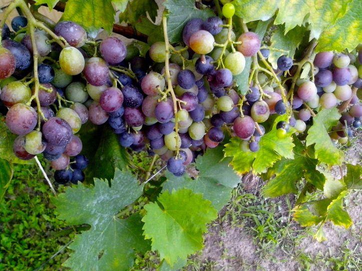 half, ripe, grapes, grapevine