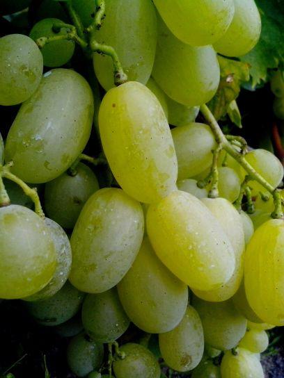 large, grains, grapes