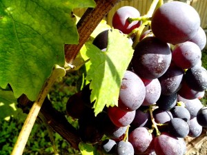 organic, blue grapes, fruit
