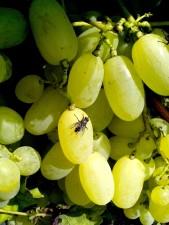 organiques, les raisins