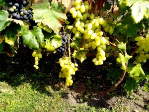 organic, grapes, vine