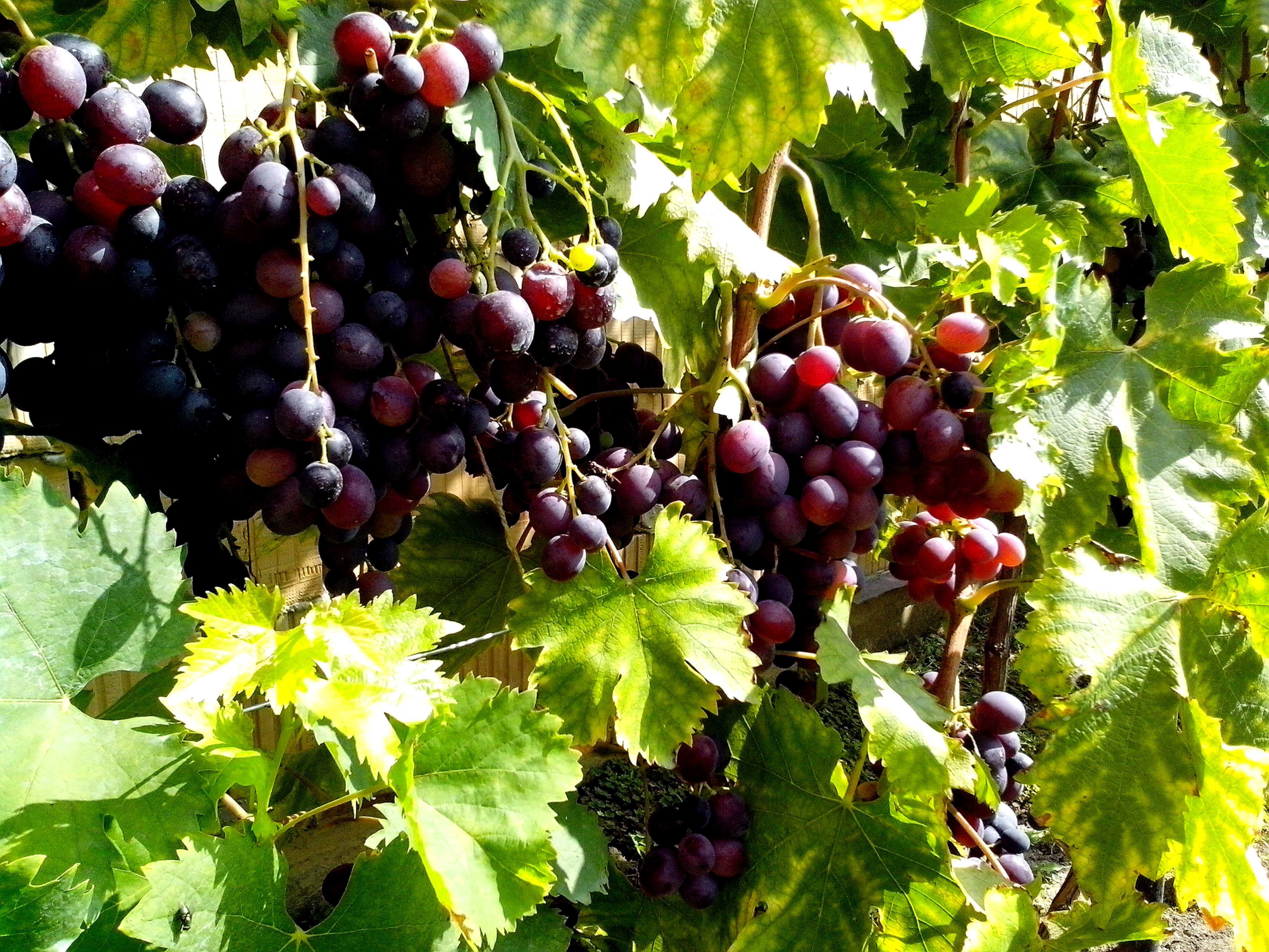 Free photograph; organic, red, grapes, fruit