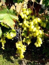 organic, white, grapes, fruit