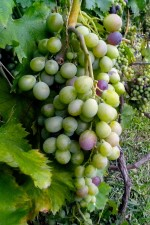 unripe, grapes, vine, tree
