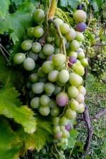 unripe, grapes, vine, tree