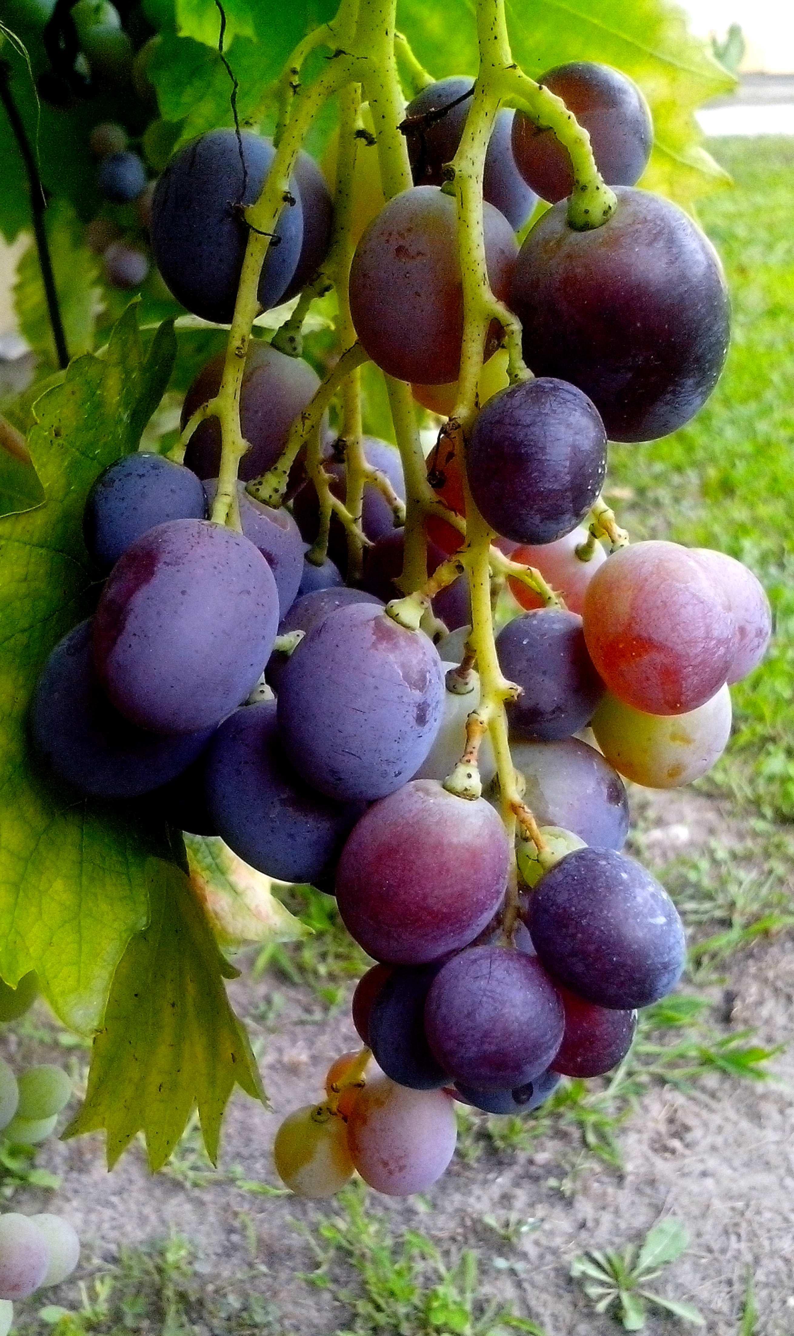Free photograph; vine, grains, blue, grapes