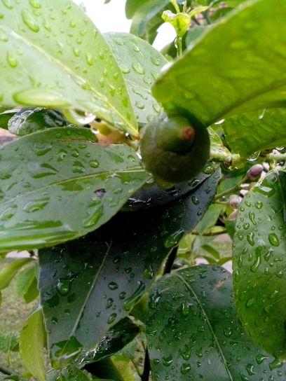 green, lemon, fruit, tree, rain