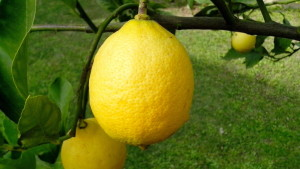 ripe, lemons, branch, close-up