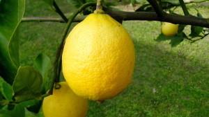 ripe, lemons, branch, close-up
