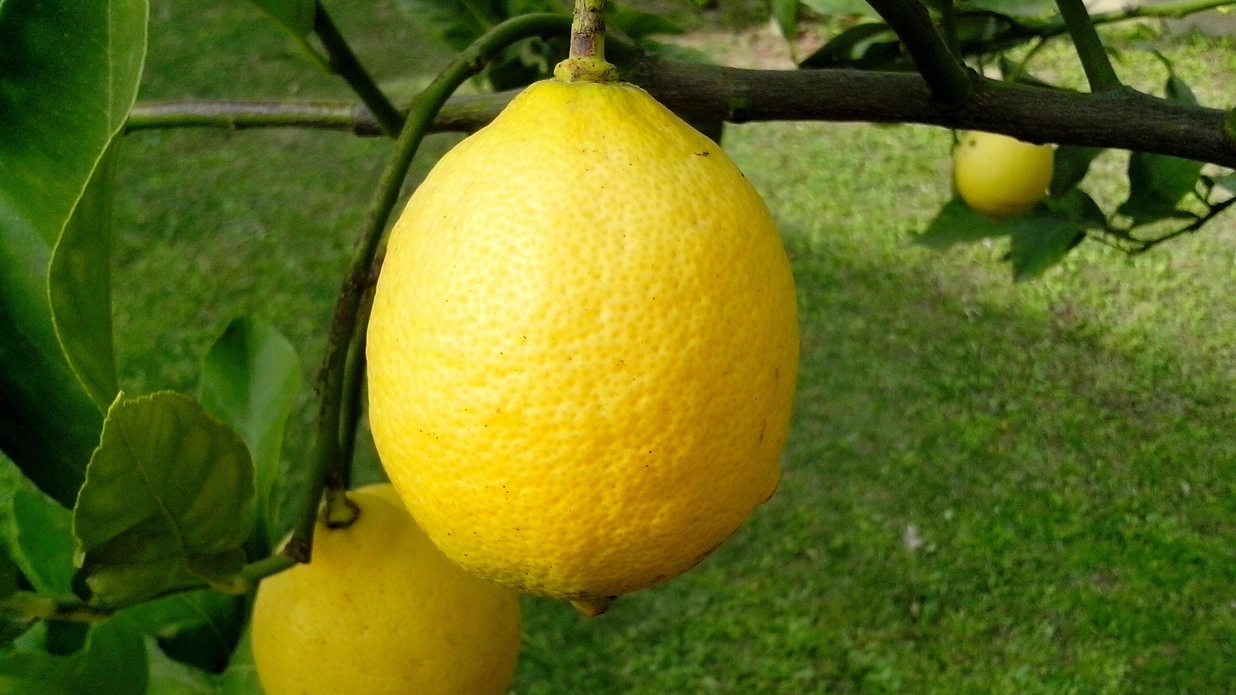 Free photograph; ripe, lemons, branch, close-up