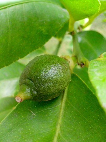 young, green, lime, lemon, tree, branch