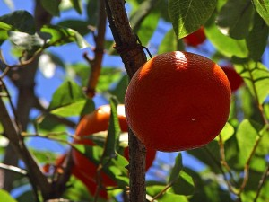 les oranges, les fruits, les arbres