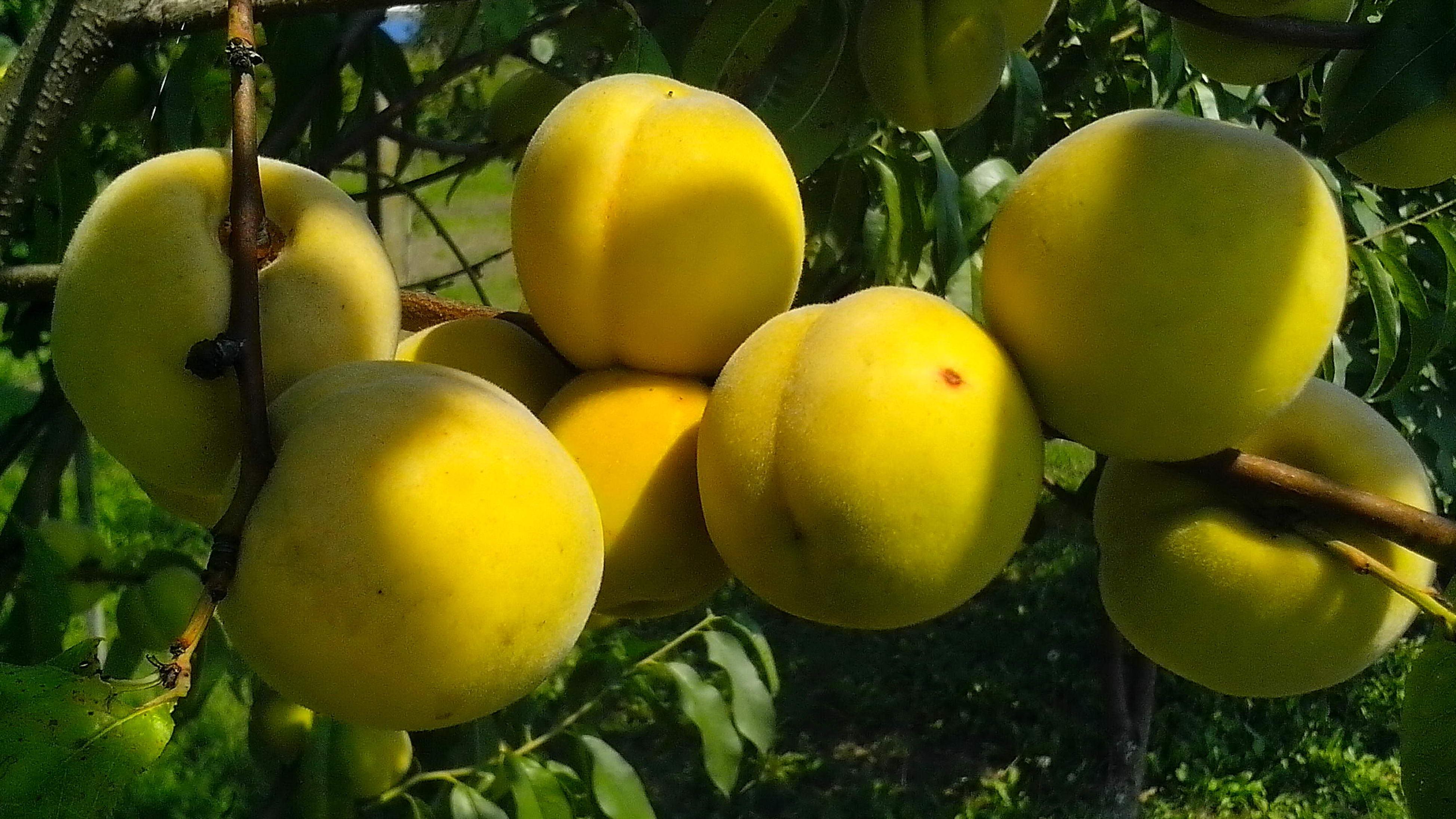Free photograph; close, organically, grown, peach, fruits