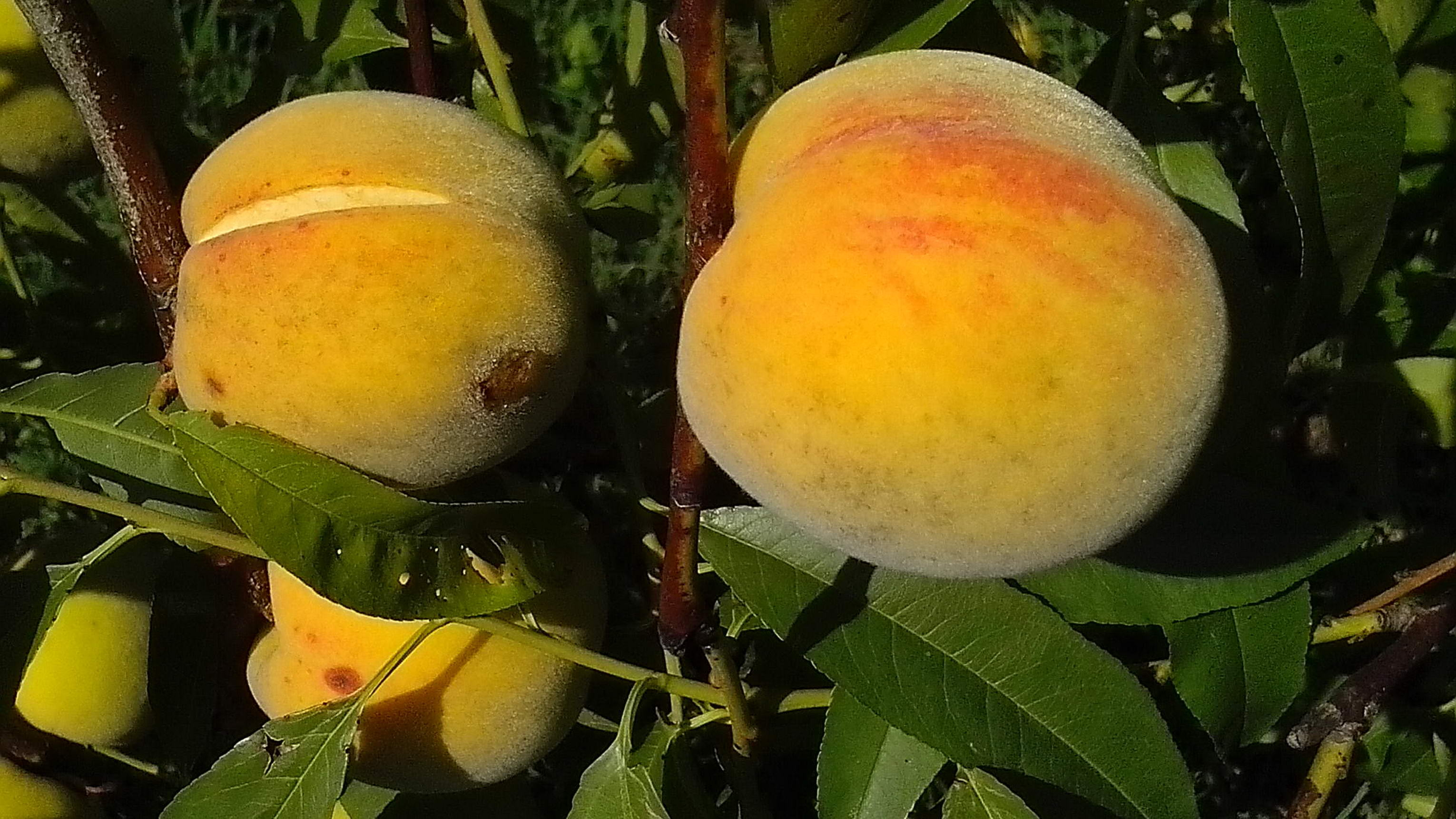 Free photograph; cracked, overripe, organically, grown, peaches, orchard