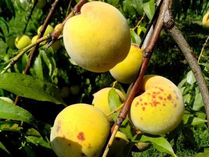 few, ripe, peach, fruit, tree