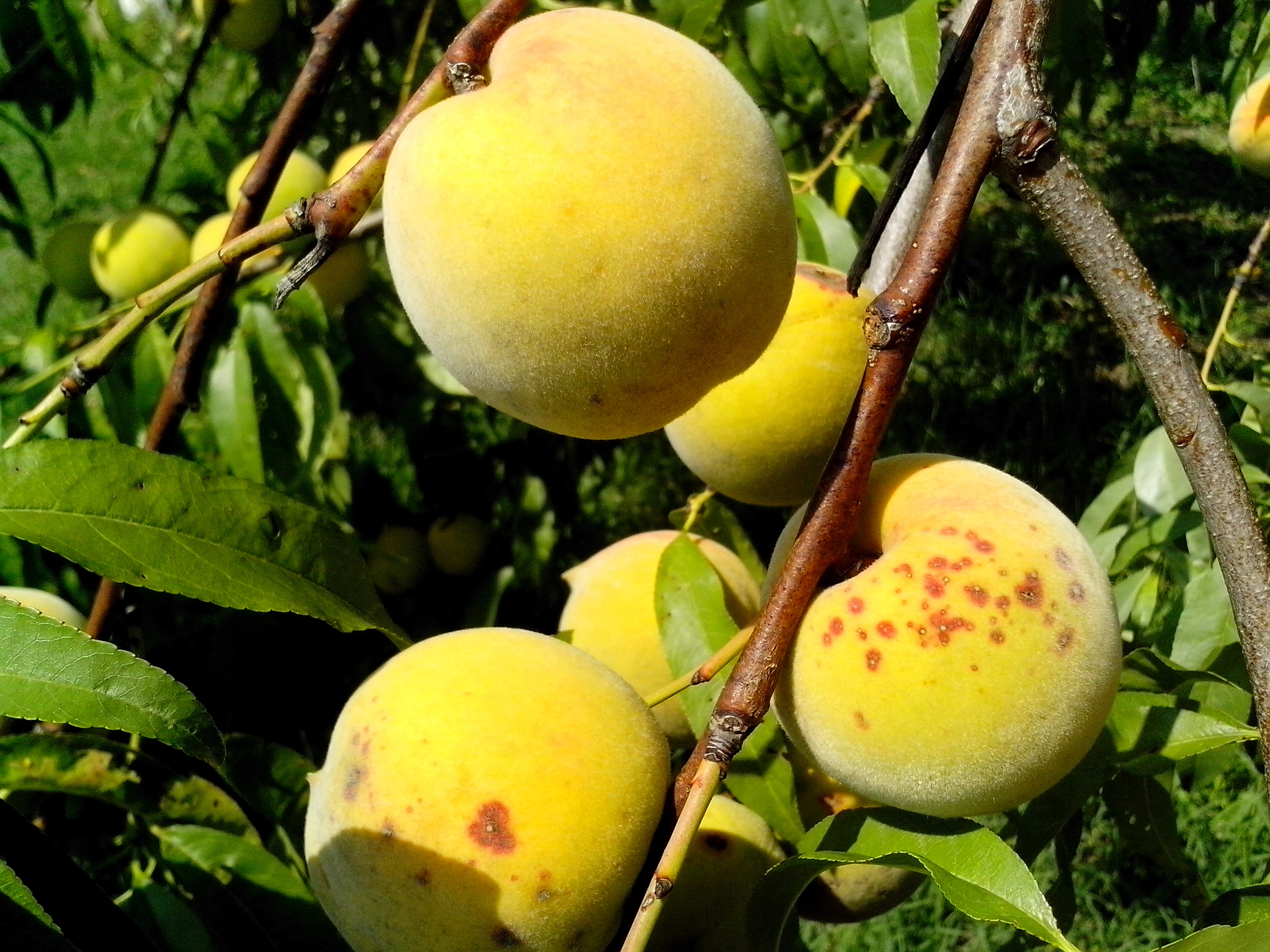 Free photograph; few, ripe, peach, fruit, tree