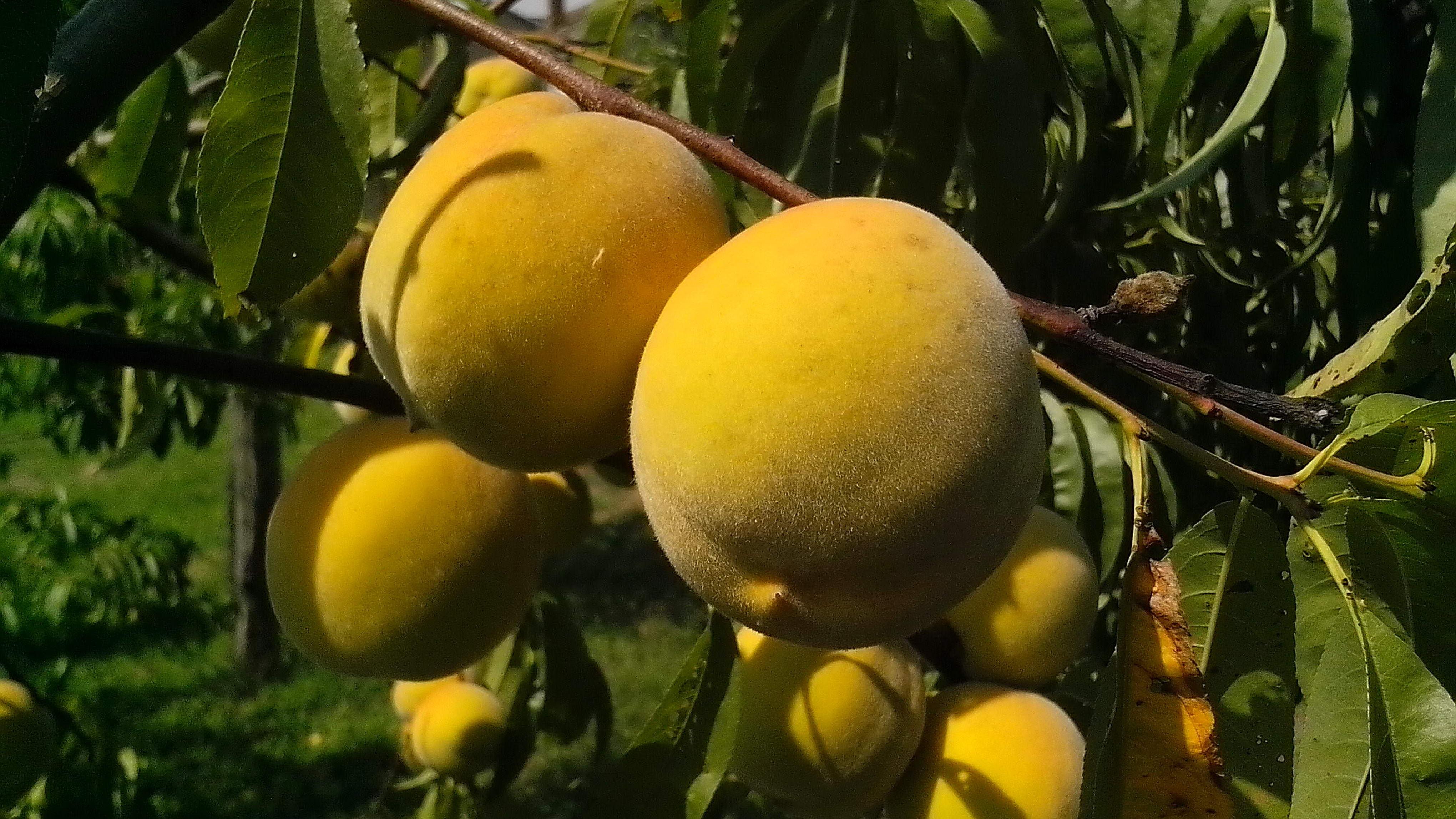 Free photograph; fruits, organically, grown, peaches