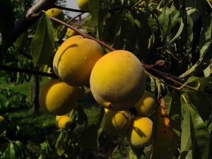 organiczne, brzoskwinia, owoce