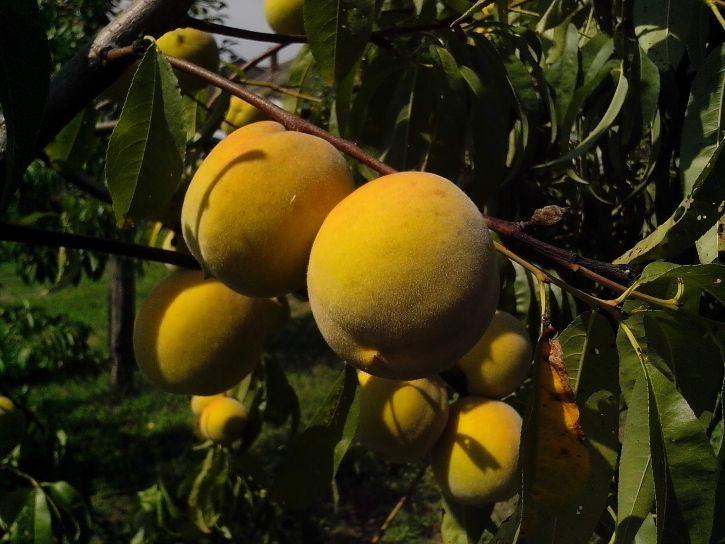 organic, peach, fruits