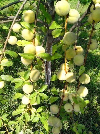 újjászületés, barack, gyümölcs fa