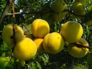 several, organically grown, peach, fruits, tree