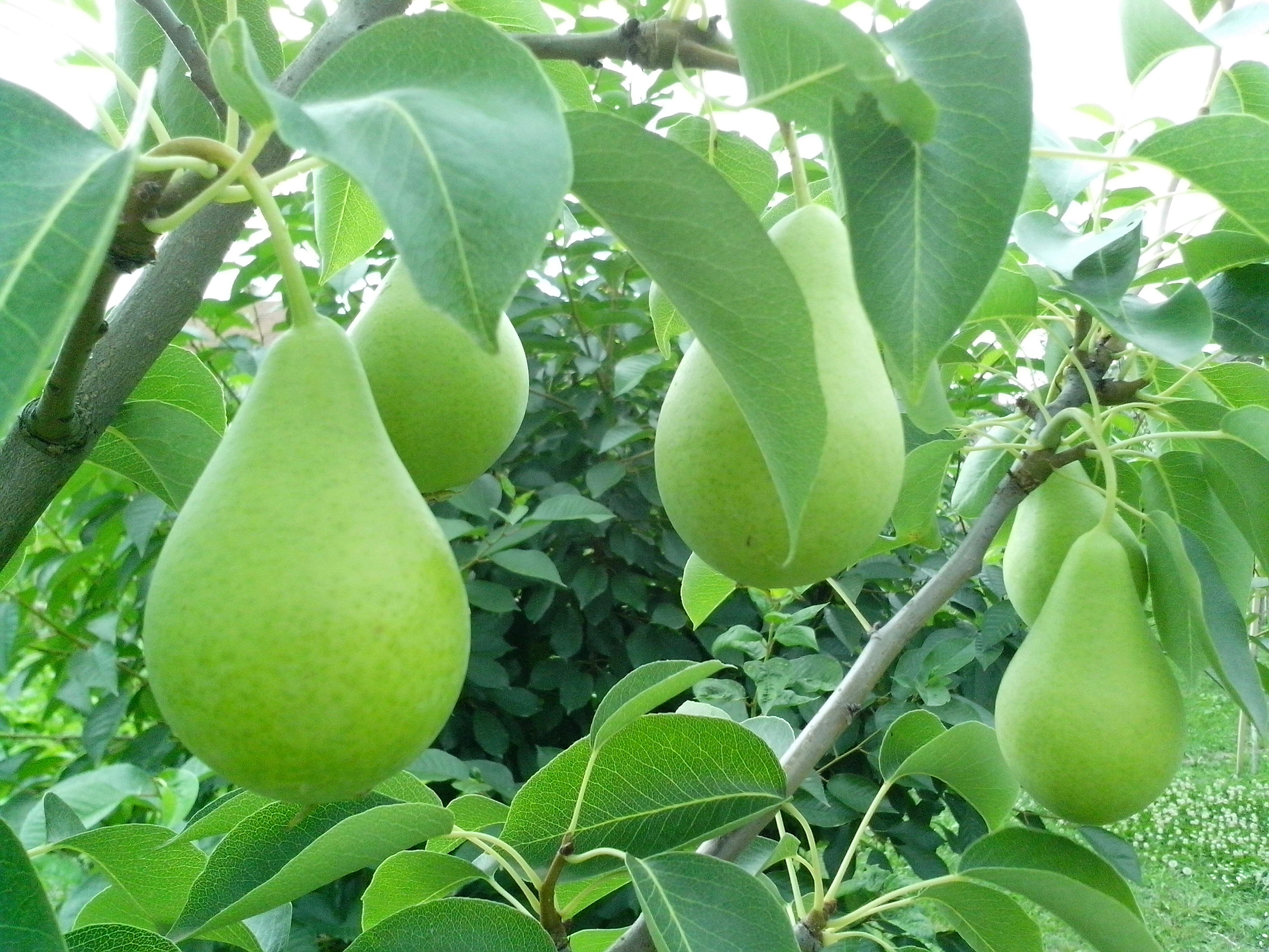 Free photograph; green, pear, branch, leaves