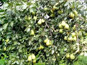 kruška, drvo, voće