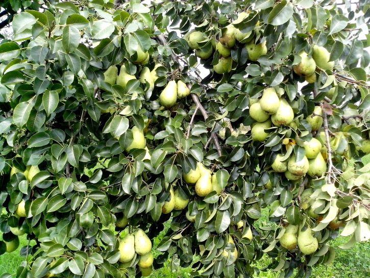 pear, tree, fruit