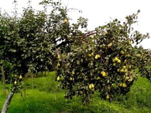 pear, tree, lot, fruit