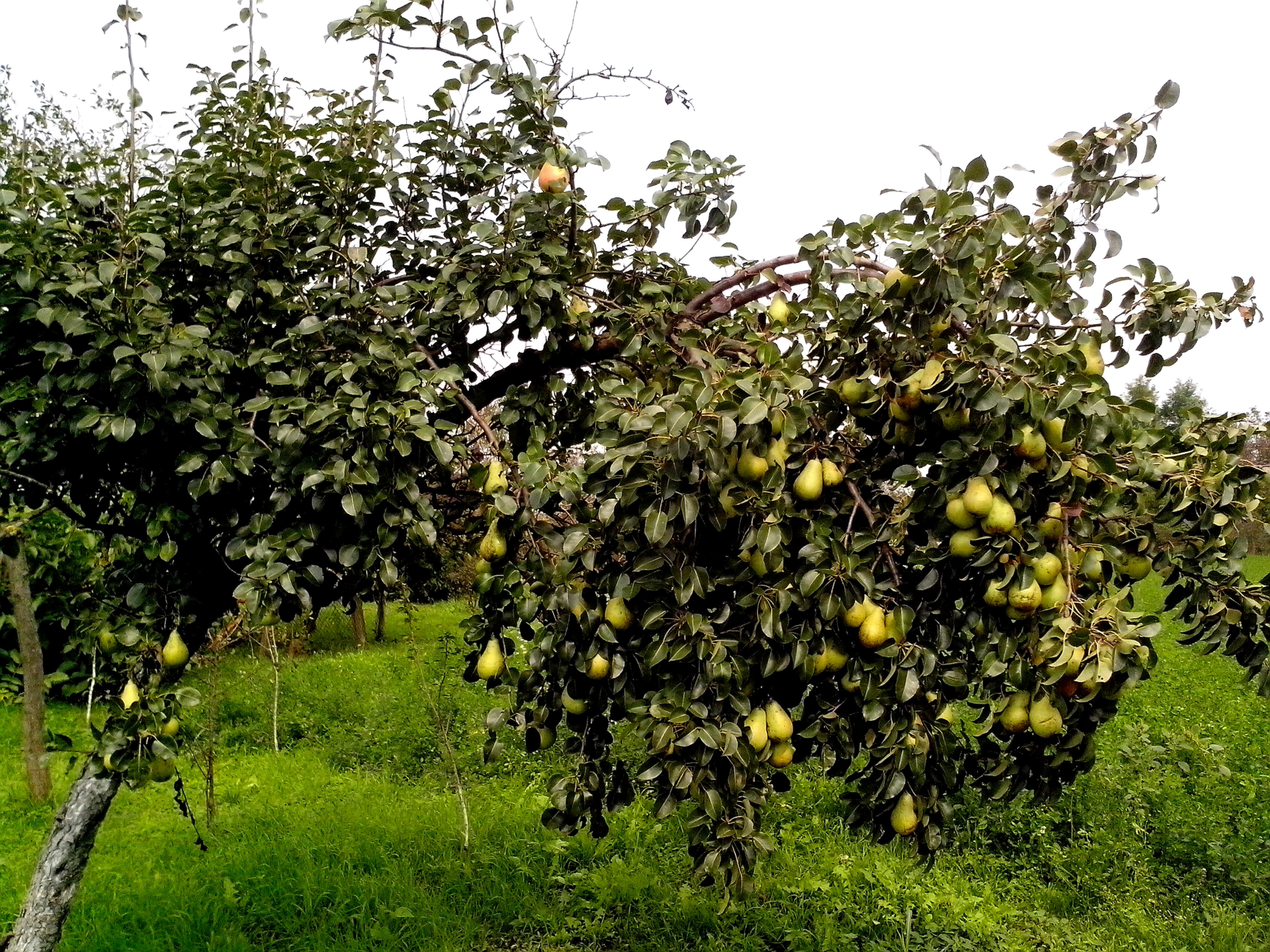 Free photograph; pear, tree, lot, fruit