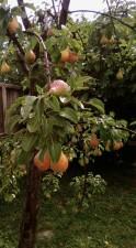 biljka, kruška, voće