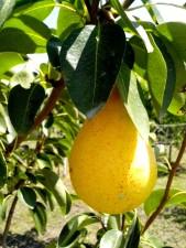mûres, poires, fruits, arbre