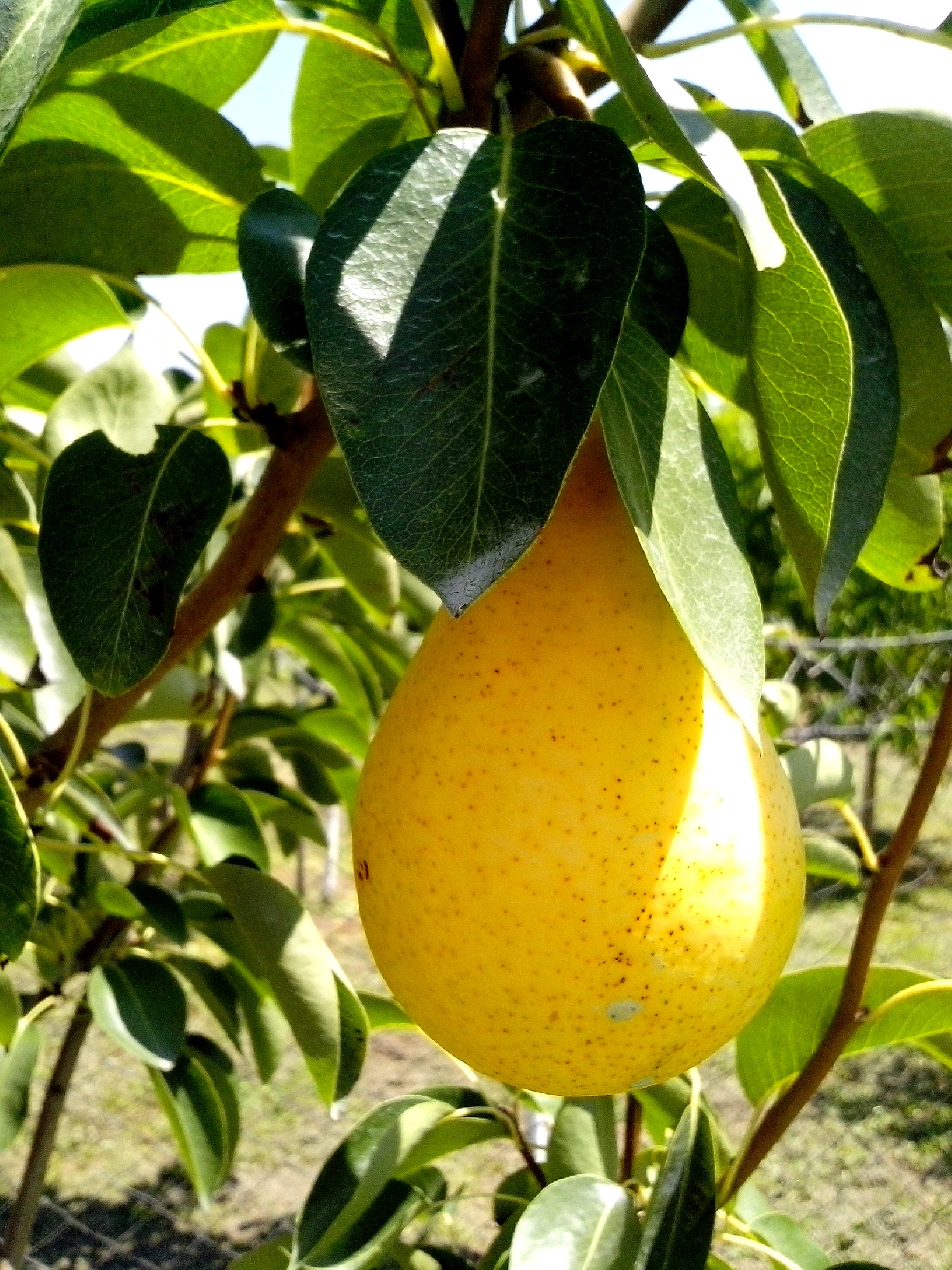 Free photograph; ripe, pears, fruit, tree