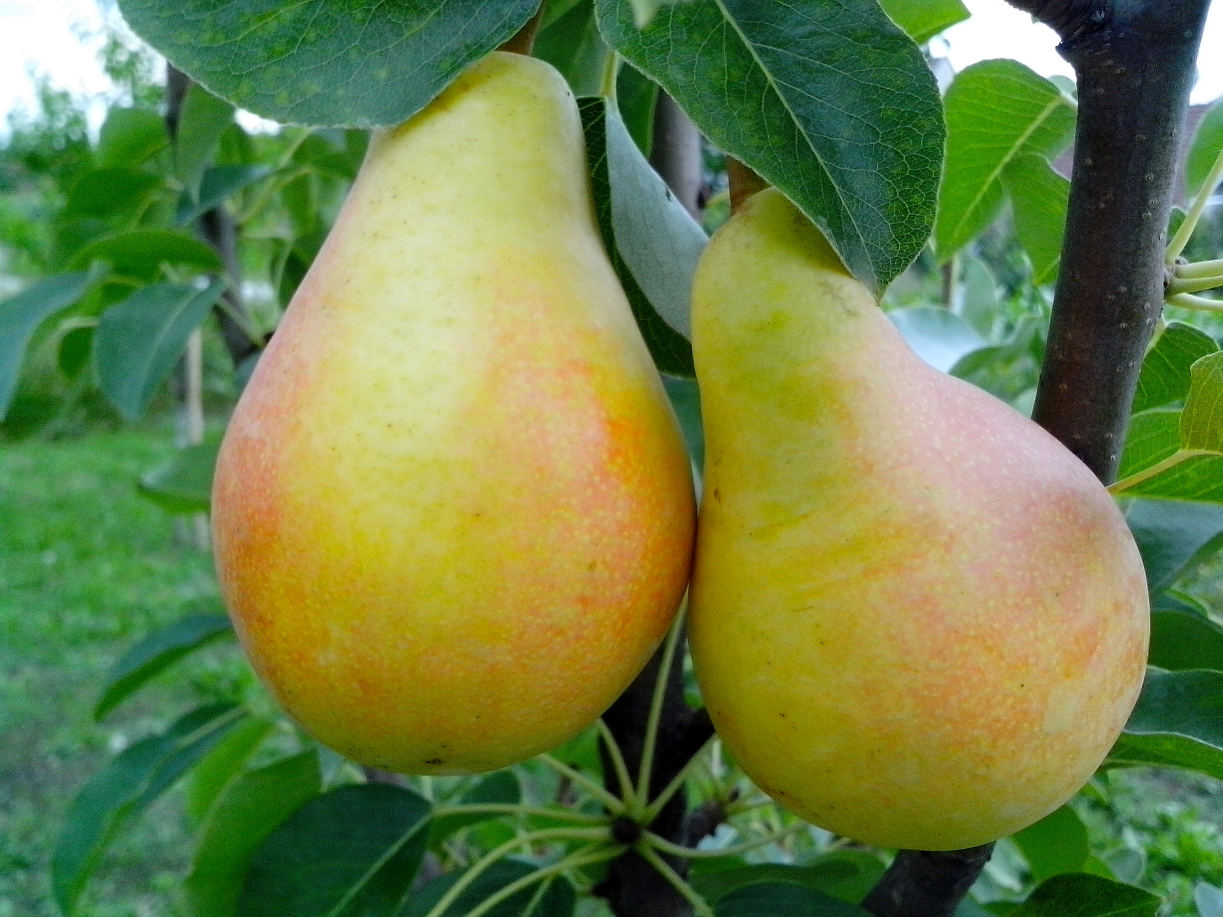 Free photograph; ripe, pears, branch
