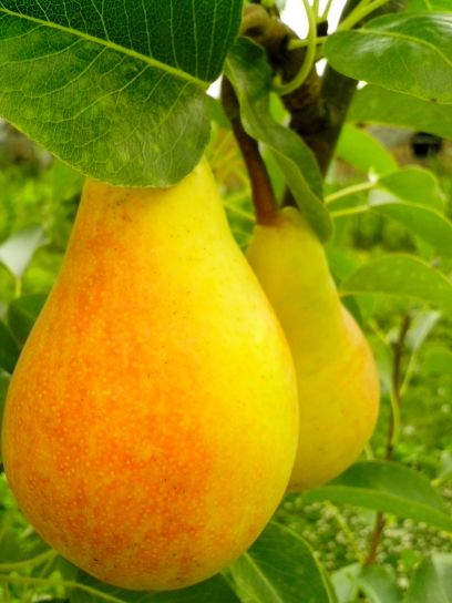 two, ripe, red, yellow, pear