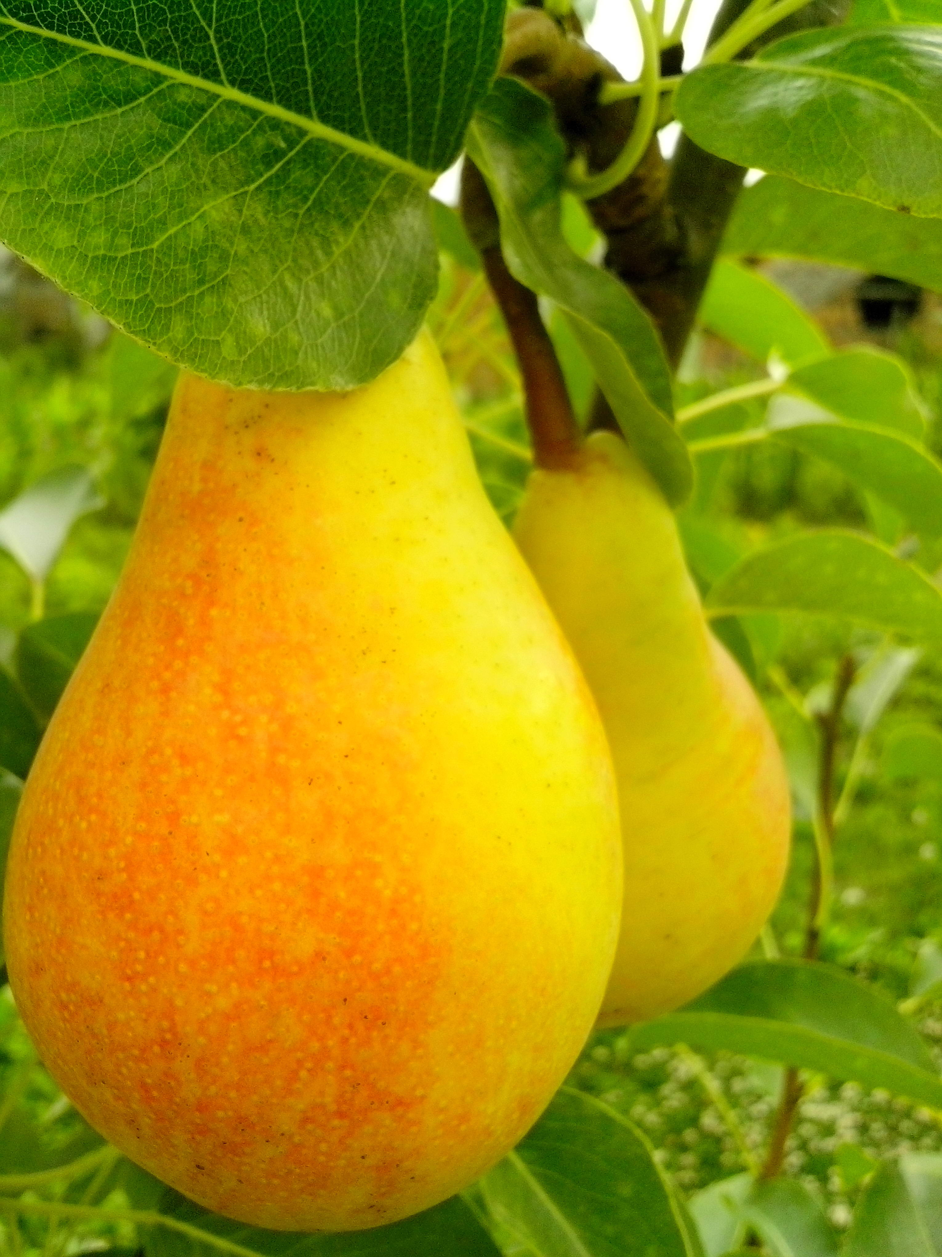 Free photograph; two, ripe, red, yellow, pear