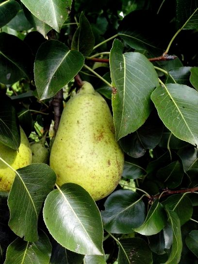 unripe, pears, branch