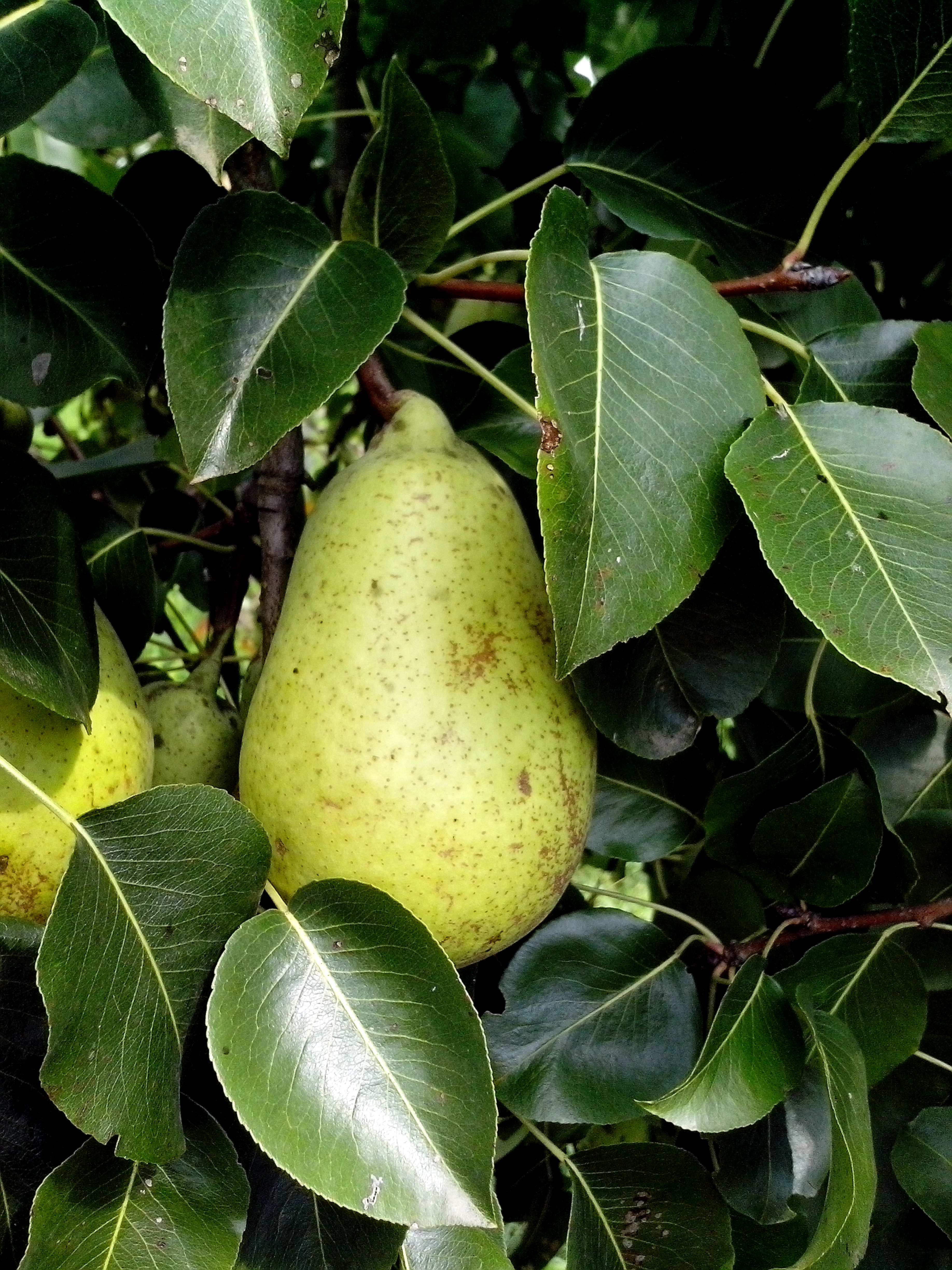 Free photograph; unripe, pears, branch