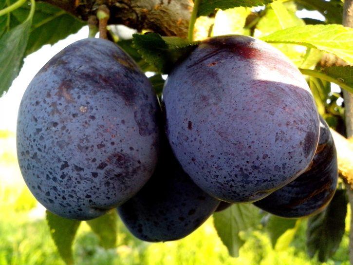 blue, plums, fruit