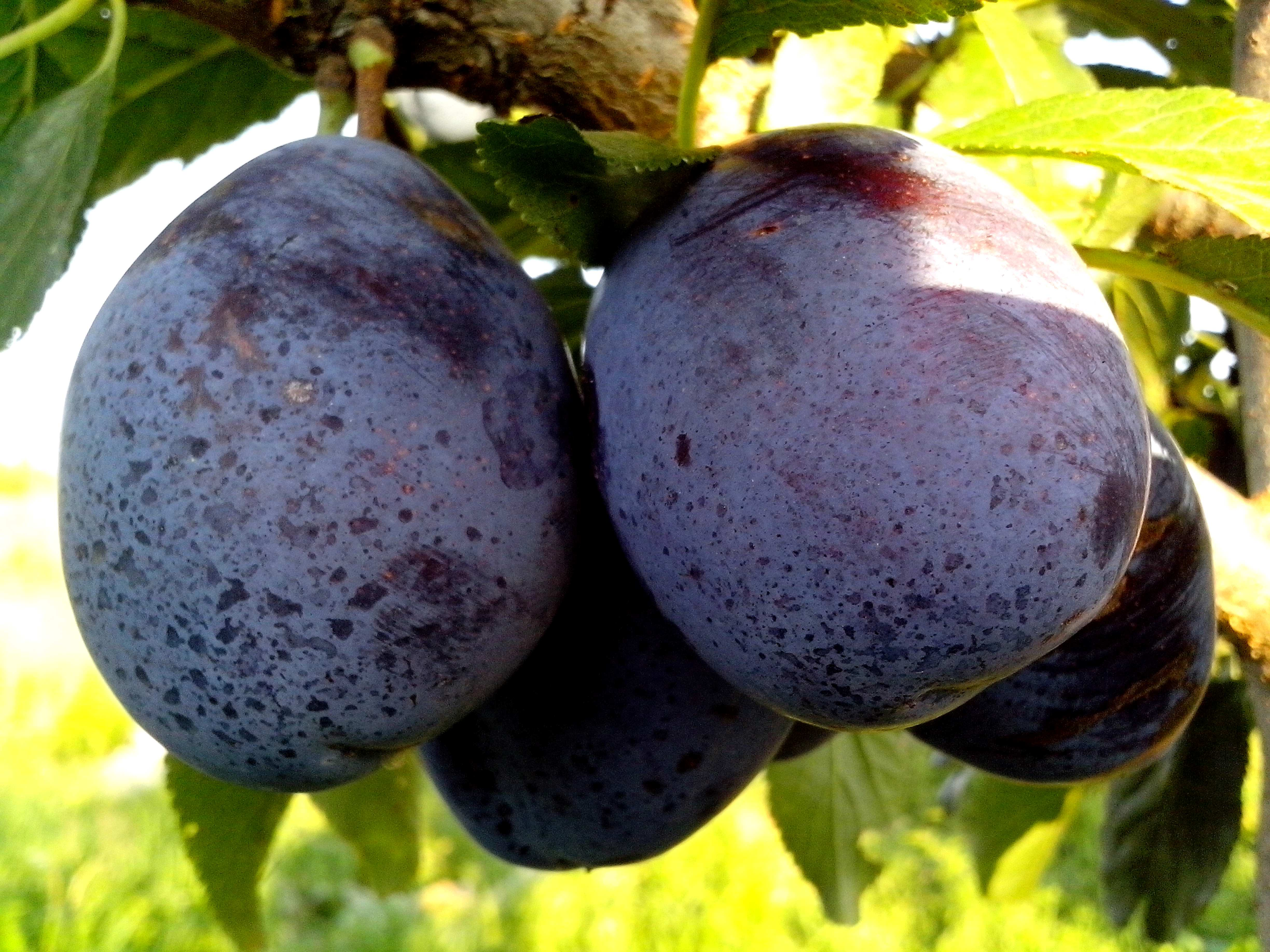 free picture blue plums fruit