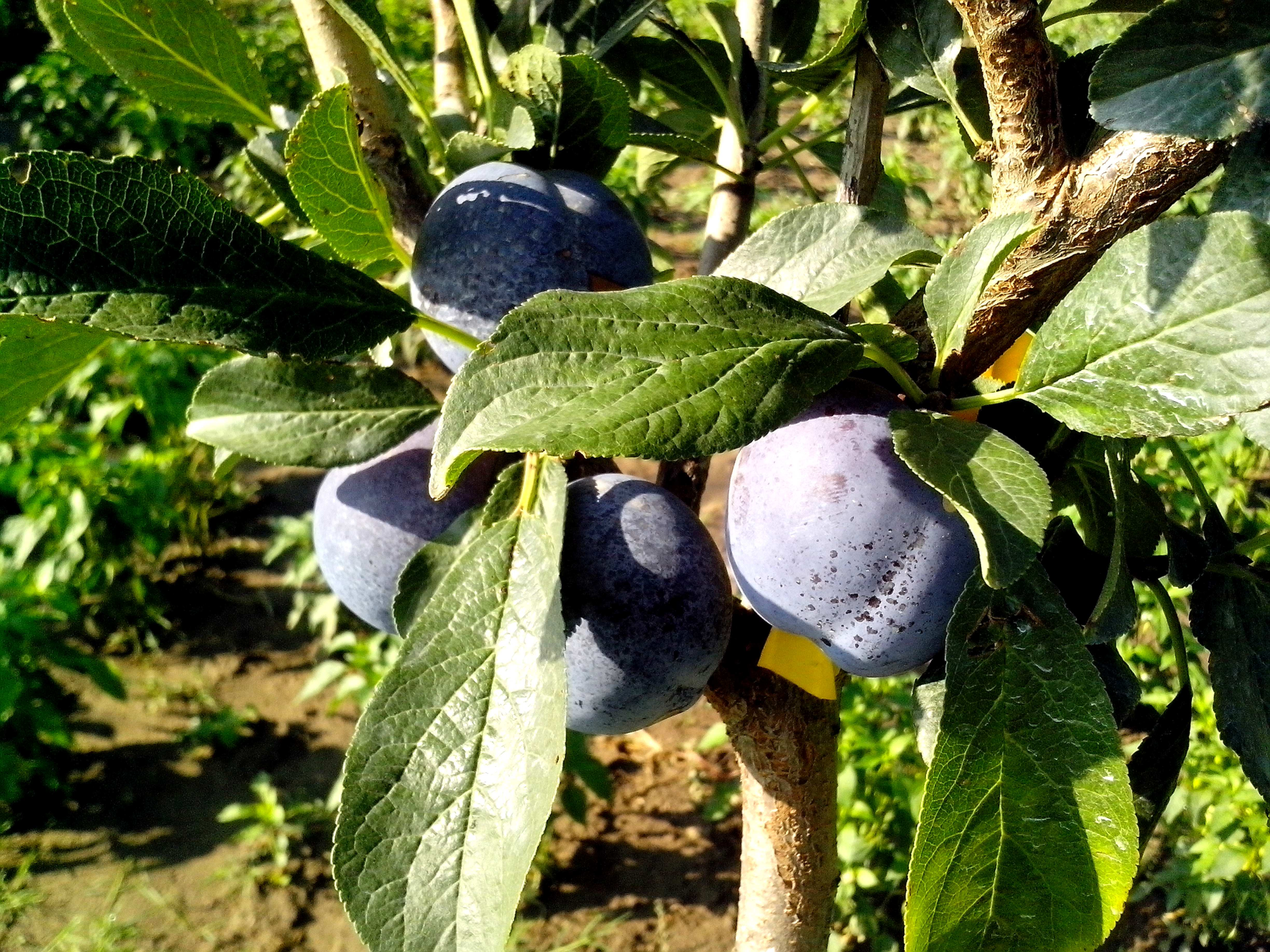 Free photograph; blue, plums, fruits, tree