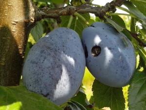 fruits, prunes, branche, les dommages, les vers
