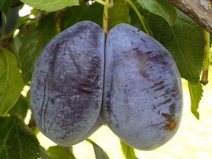 gemini, plum, fruit