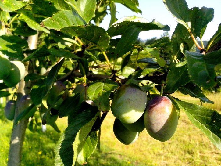 green, plums