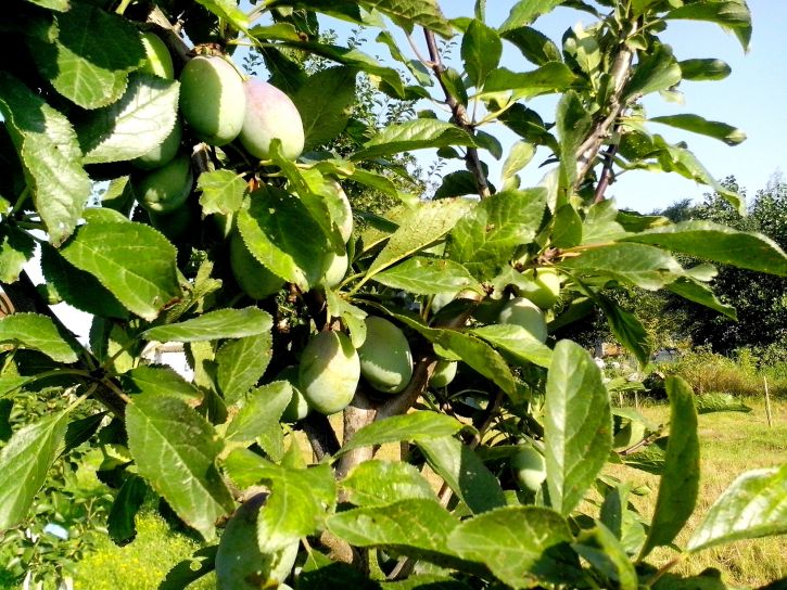 green, plums, tree, orchard