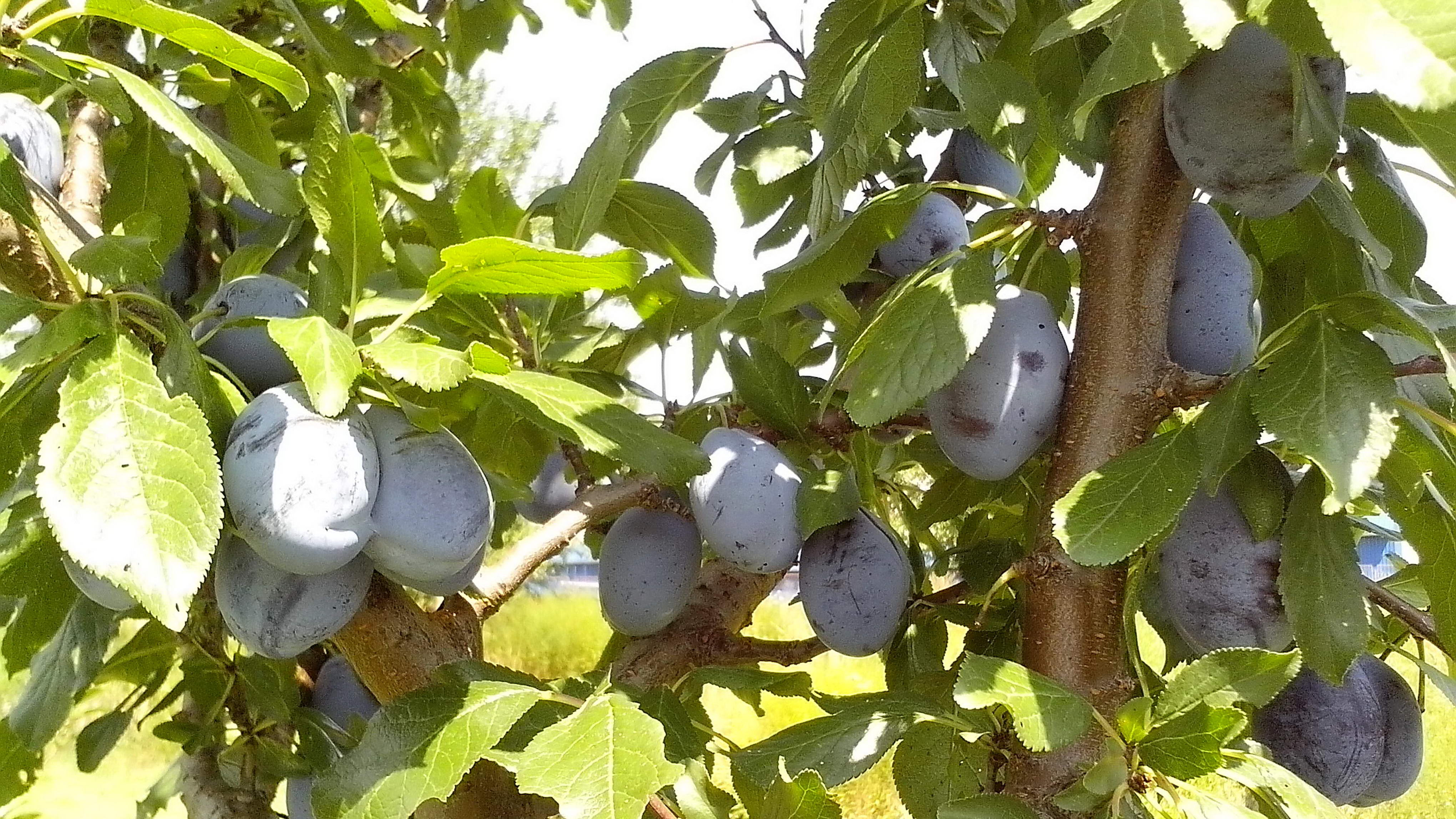Free photograph; immature, fruits, organically, grown, blue, plums, fruits